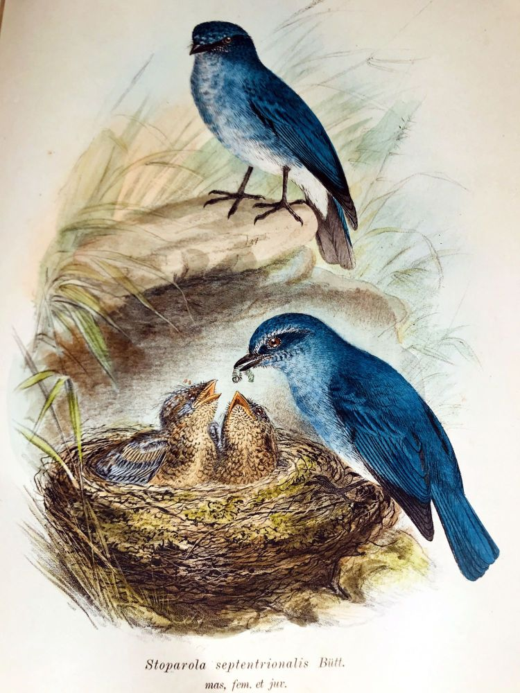 The birds of Celebes and the neighbouring islands. A. B. MEYER, L. W. WIGLESWORTH.