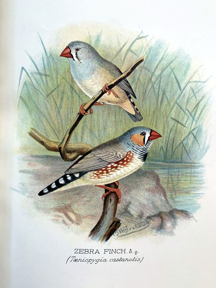 Foreign finches in captivity. Arthur G. BUTLER.