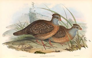 A monograph of the odontophorinae, or partridges of America. John GOULD