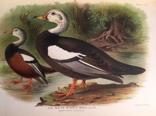 Indian ducks and their allies. (offered with) Indian ducks and their allies. E. C. Stuart BAKER